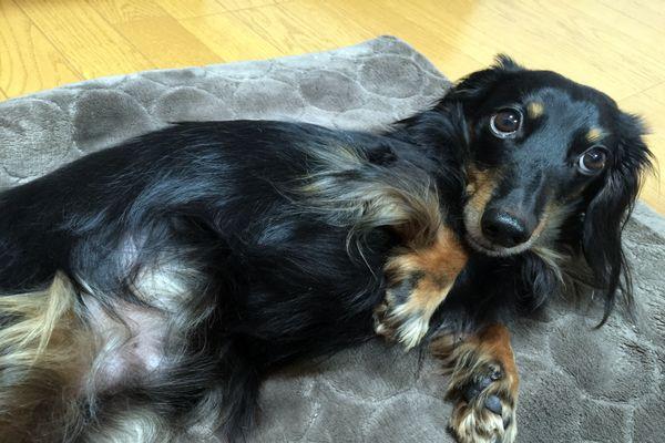去勢手術を行なった我が家の愛犬