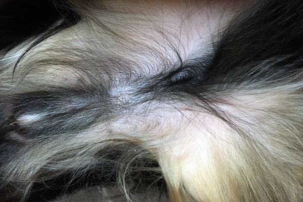 愛犬の去勢手術半年後の傷口