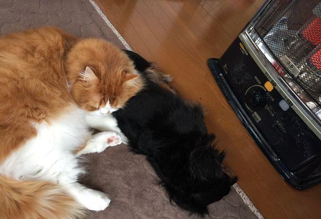 ストーブに当たる犬と猫