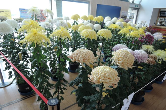 越谷市 菊の展示会
