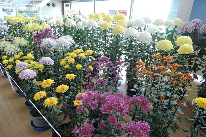 越谷市 菊の展示会 画像