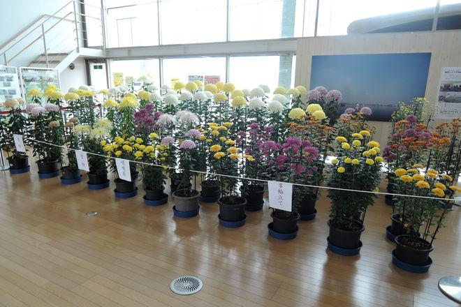 越谷市 菊の展示会 会場