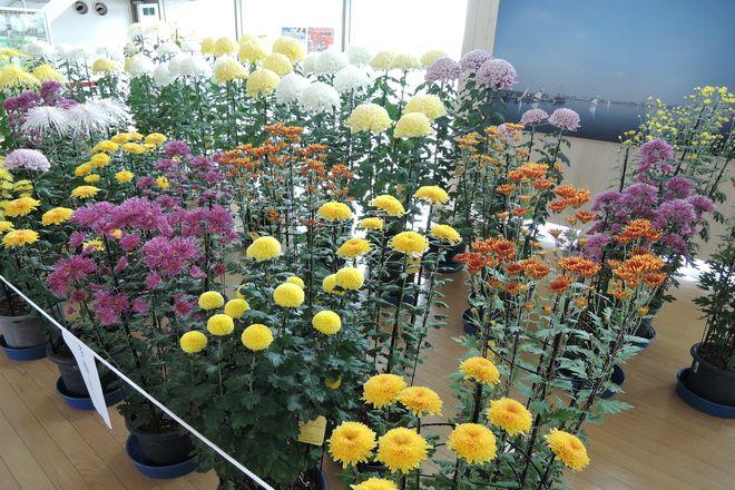 越谷市 菊の展示会 2014年