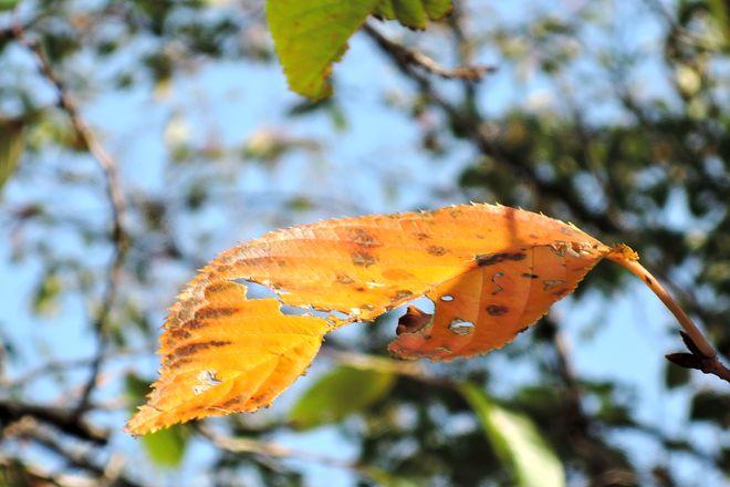木漏れ日に照らされる紅葉した桜の葉