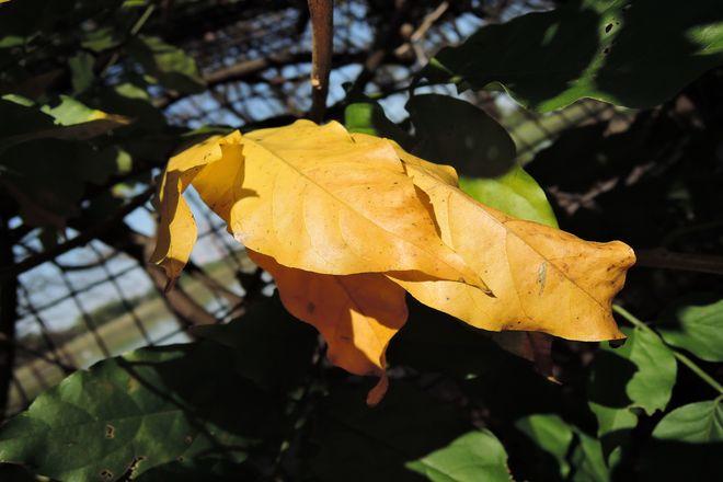 黄葉したサネカズラ