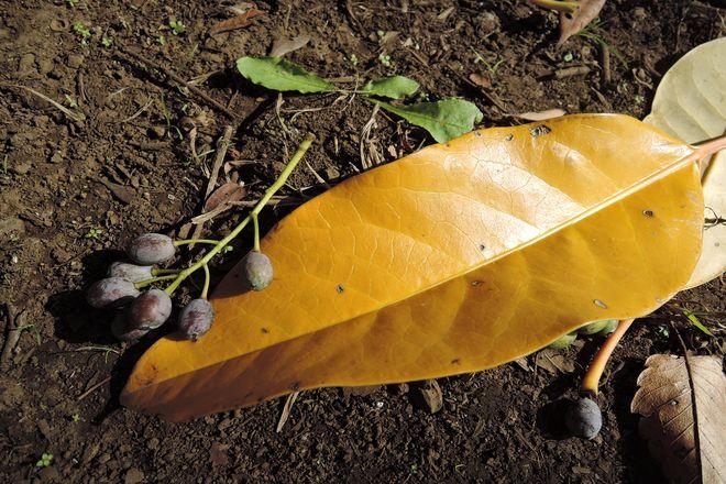 ユズリハの葉と実