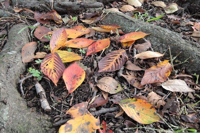 紅葉した桜の葉
