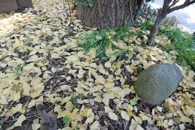 落葉したイチョウの葉