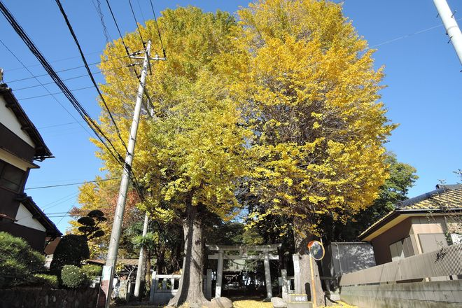 大相模久伊豆神社の銀杏