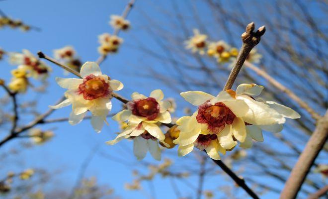 蝋梅の花の写真