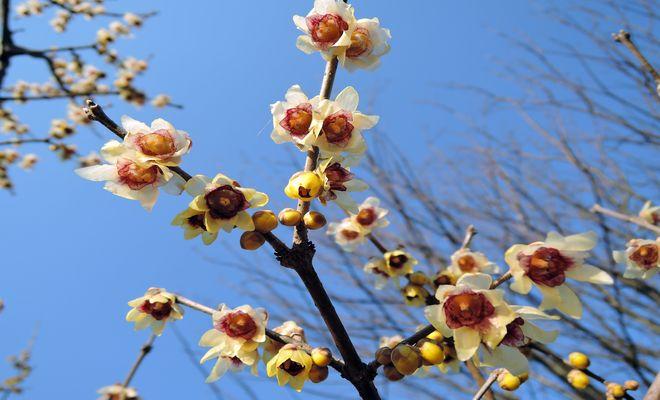 蝋梅の花言葉