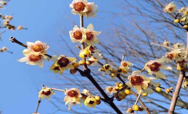 蝋梅の開花時期