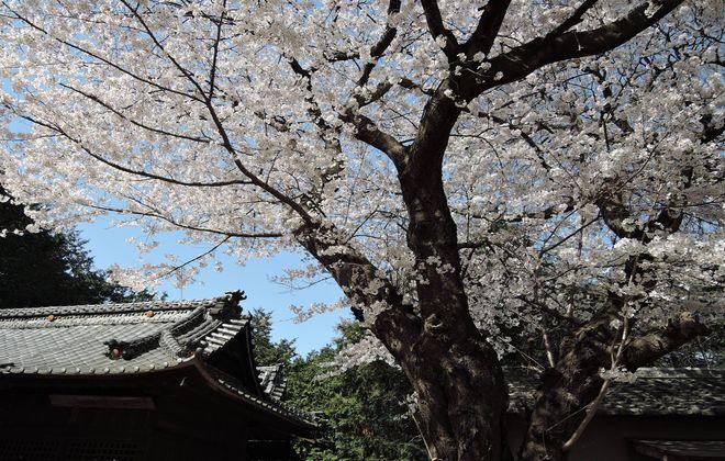笹久保八幡神社 本堂横の桜