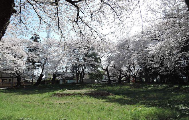 笹久保八幡神社 境内の桜