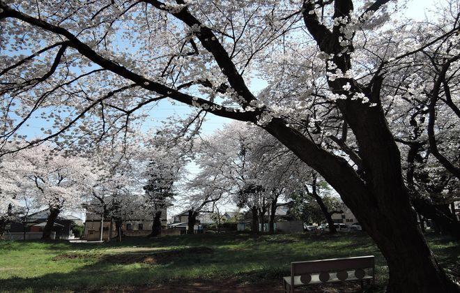 岩槻区の桜の穴場
