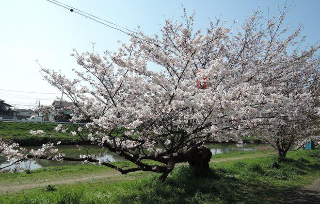 北越谷桜堤の水平桜