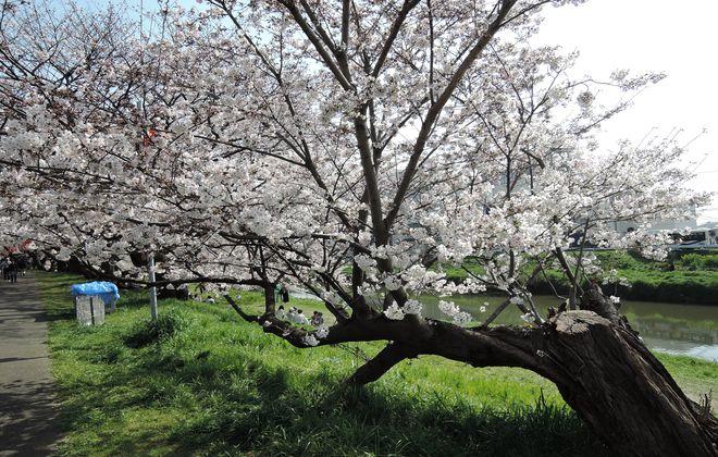 北越谷の水平桜
