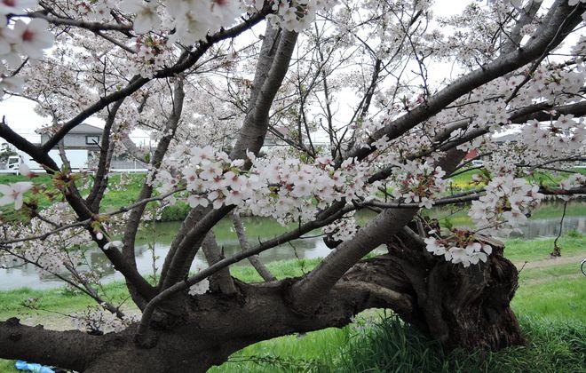 北越谷桜堤にあるおすすめの桜の木
