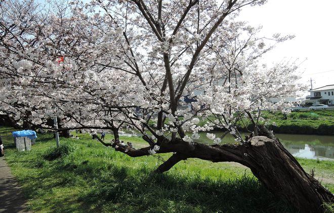 幹の部分を切断された桜