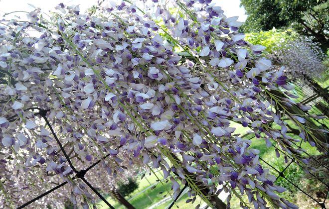 満開を迎えた藤の花