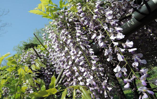 藤の花の香りには抗酸化作用があるんです。