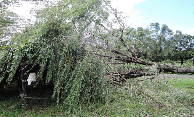 折れた柳の木が藤棚を直撃