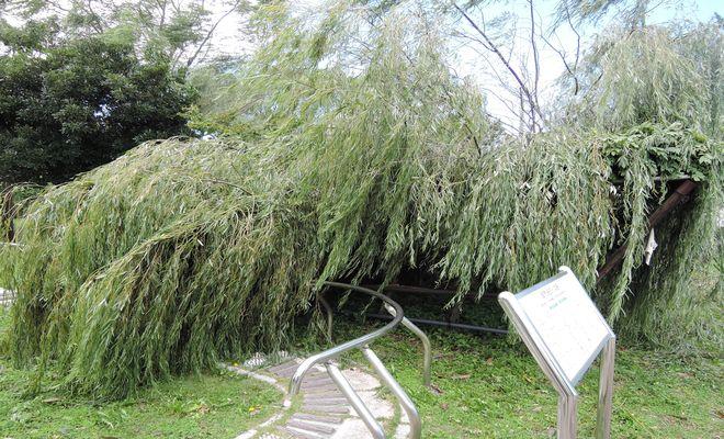 倒れた柳の木