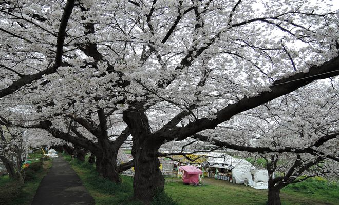桜が満開の北越谷元荒川堤