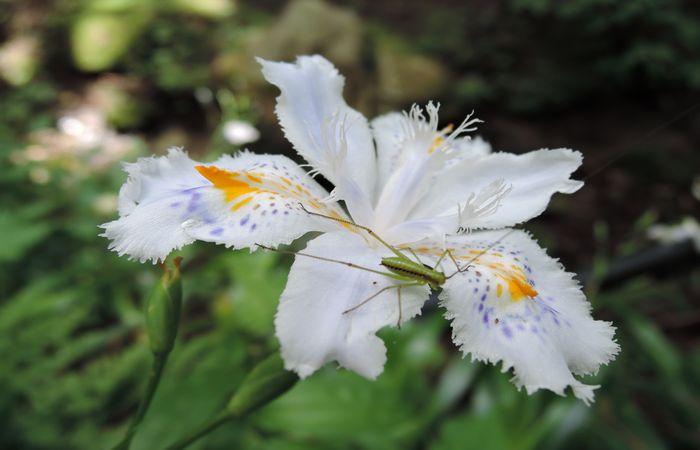 シャガの花-1