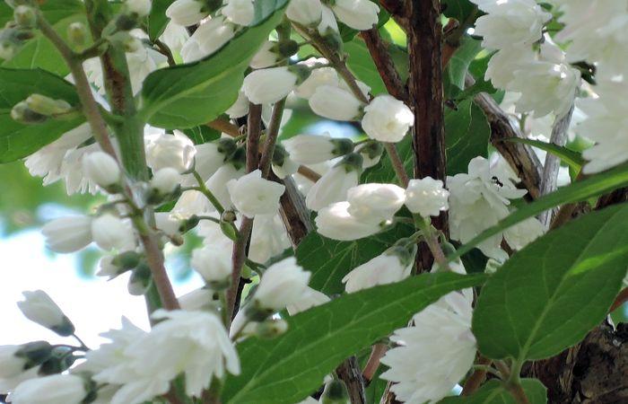 サラサウツギの花-3