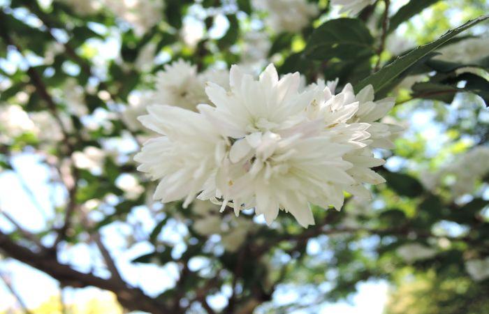 サラサウツギの花-4