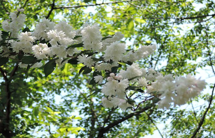 サラサウツギの花-5