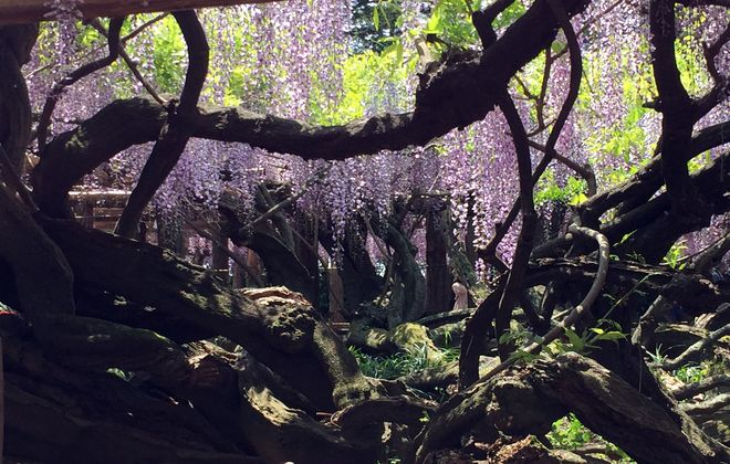 牛島の天然記念物の藤