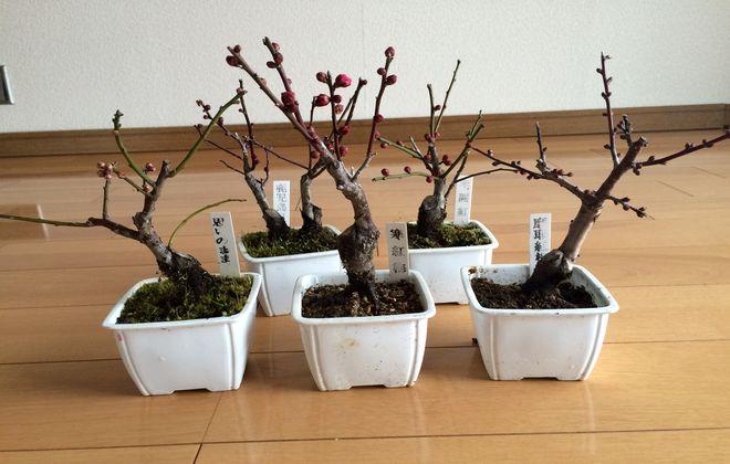 ミニ梅の盆栽セット