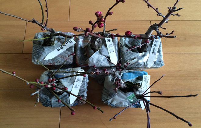 ミニ梅盆栽