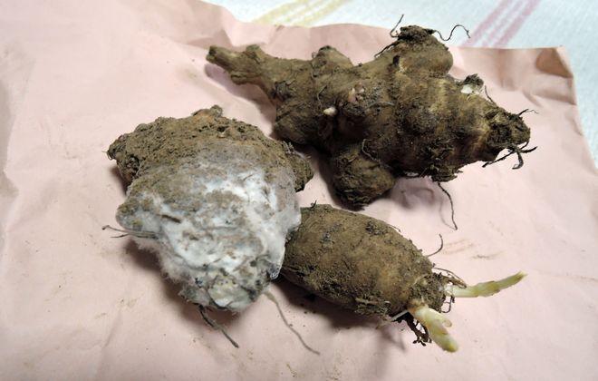 菊芋に付いたカビ