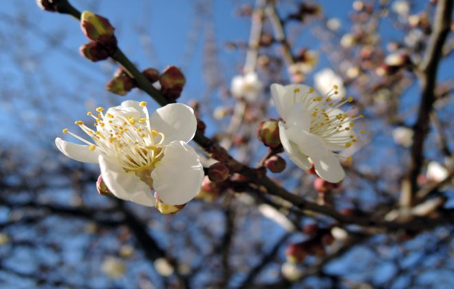白梅の花言葉