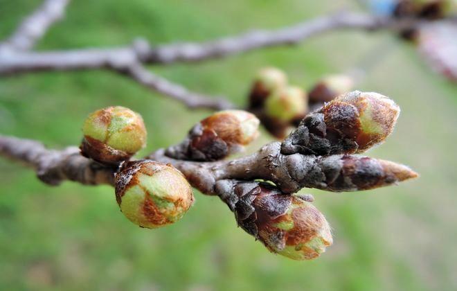 北越谷元荒川の開花間近の桜