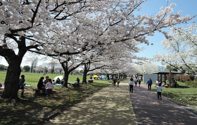 県民健康福祉村(芝生広場)満開の桜