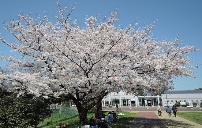 県民健康福祉村(ときめき元気館前)満開の桜