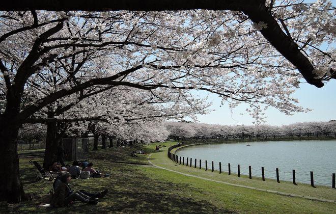 県民健康福祉村(野鳥の池・修景池)満開の桜