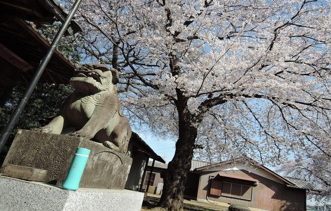 狛犬と満開の桜