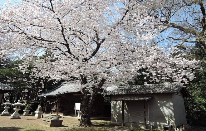 笹久保の八幡さま本堂横の桜