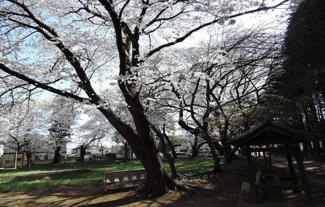 笹久保の八幡さま境内の桜