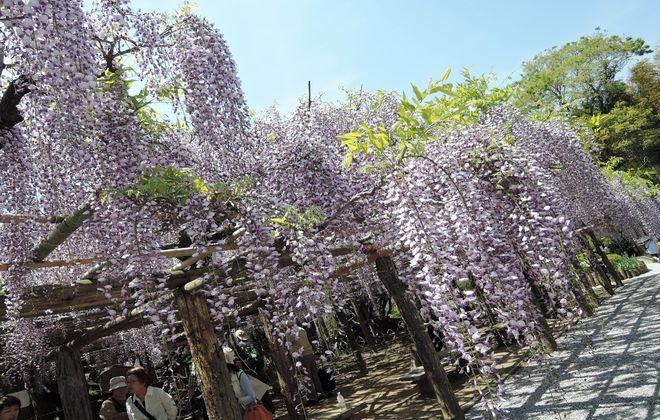 牛島の藤(藤花園)