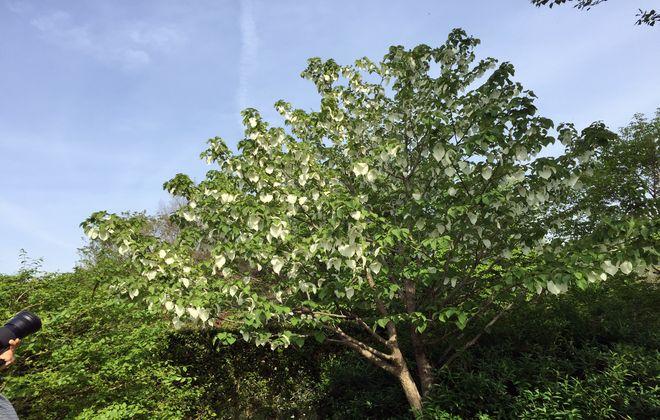 ハンカチの木(埼玉県さいたま市・見沼自然公園)